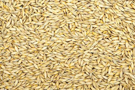 cebada: grano como buen fondo natural  Foto de archivo