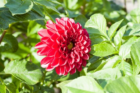red flower of dahlia in nature Stock Photo - 7117957