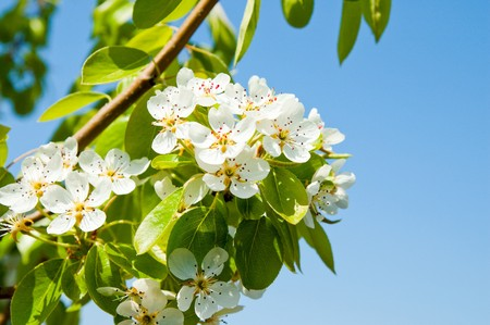 flower of pear on branch and blue sky photo