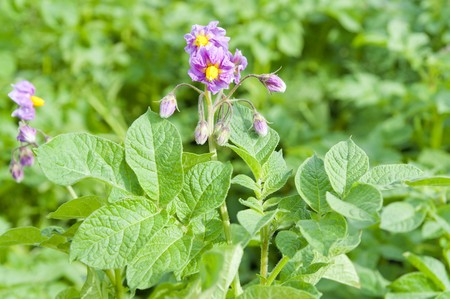 potatos blooming on the field photo