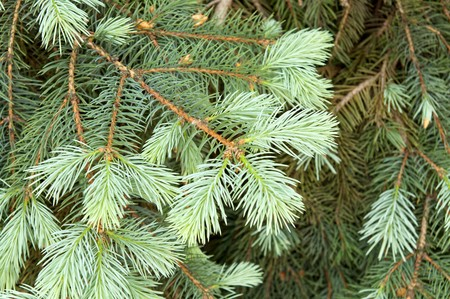 green branch of pine Stock Photo - 7155561