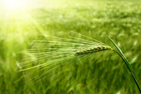 ear of green wheat under sunrays photo