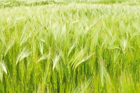 field of  ear of green wheat photo