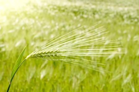 ear of green wheat Stock Photo - 7539929