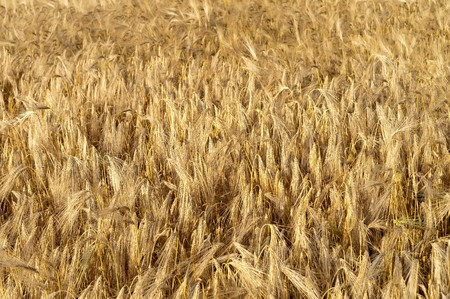 golden wheat ears. south Ukraine photo
