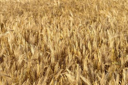 golden wheat ears. south Ukraine photo