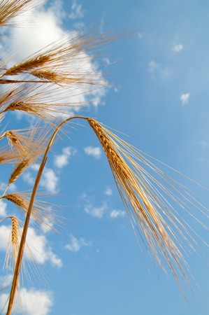 golden wheat ears under sky. south Ukraine Stock Photo - 7539931