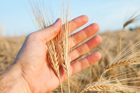 ears of wheat in a hand above the field photo