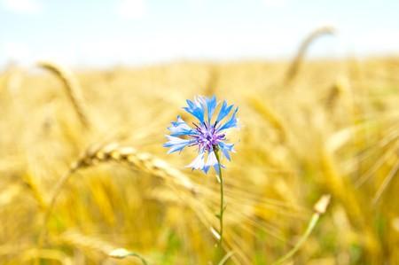 blue cornflowers in field photo
