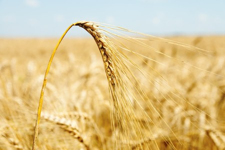 gold ears of wheat Stock Photo - 7558920