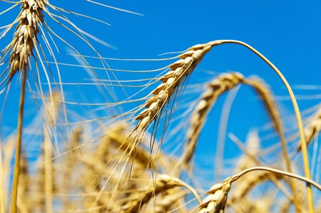 gold ears of wheat Stock Photo - 7558935