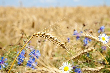ears of wheat with flowers Stock Photo - 7558926