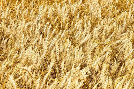 gold ears of wheat photo
