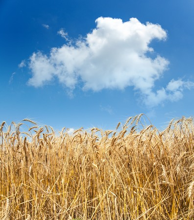 gold ears of wheat under sky Stock Photo - 7558976