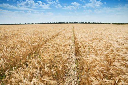 way in field of wheat Stock Photo - 7558971