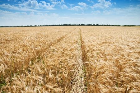 way in field of wheat