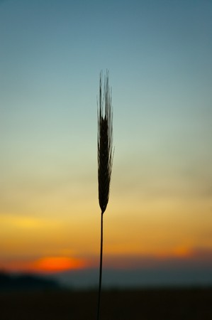 sunset on field at summer. ears of wheat sun against photo