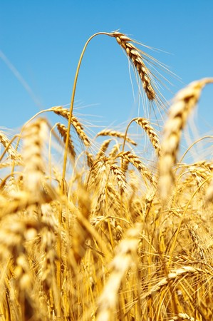 gold ears of wheat Stock Photo - 7558946