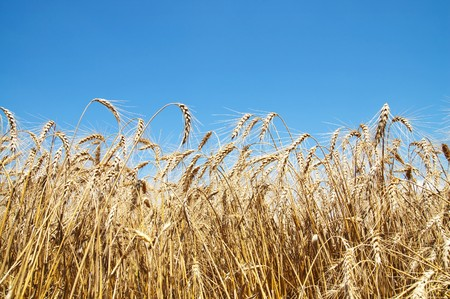 gold ears of wheat Stock Photo - 7558968