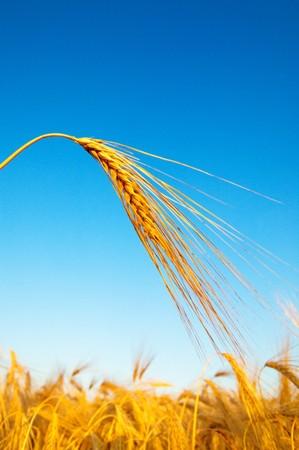 gold ears of wheat in sundown time Stock Photo - 7558925