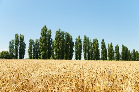 gold ears of wheat and trees photo