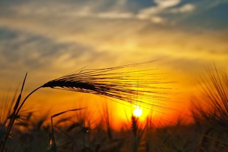 cereales: espigas de trigo maduro sobre un fondo al sol en la noche