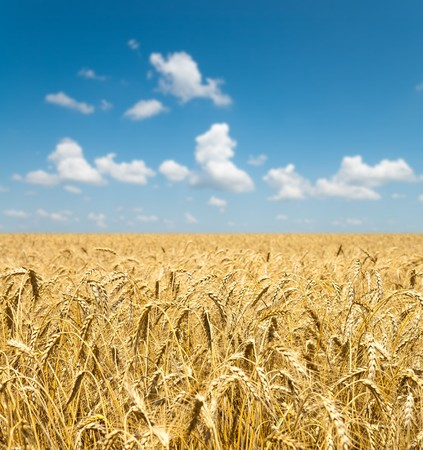 gold ears of wheat under sky. soft focus on field Stock Photo - 7558965