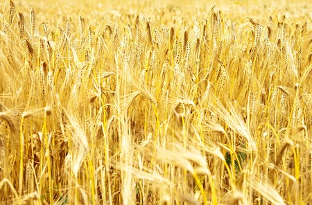 gold ears of wheat Stock Photo - 7558954