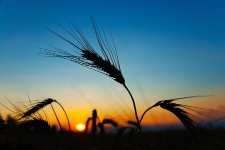 sunset on field at summer. ears of wheat sun against Stock Photo - 7558910