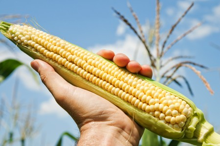 genetically modified crops: view of an ear of corn in hand Stock Photo