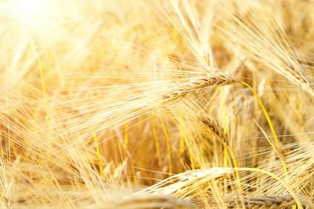 ears in sunrays Stock Photo - 7558939