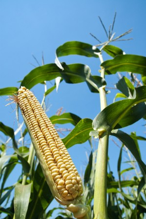 view to corn on the cob Stock Photo - 7629113