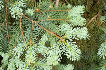 close-up of pine branches photo