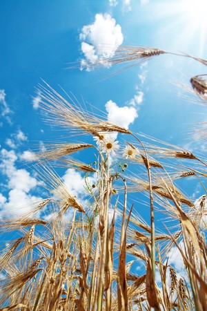 chamomiles with wheat under cloudy sky Stock Photo - 7804595