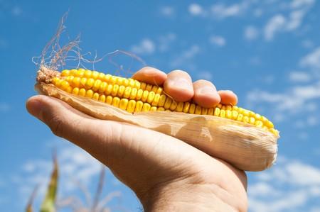 mais: maize in hand under sky