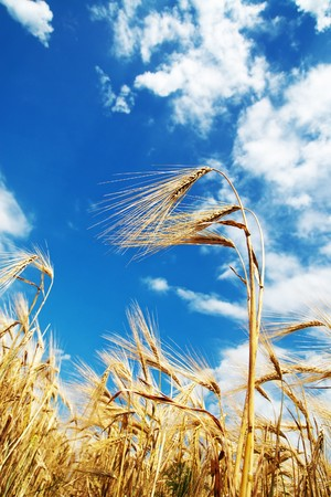 wheat of ear with blue cloudy sky Stock Photo - 7804588