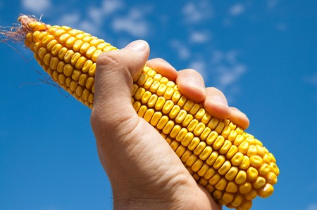 maize in hand under sky photo
