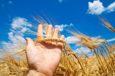conos en la mano sobre la nueva cosecha  Foto de archivo