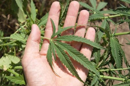 Green leaf of marijuana in a hand Stock Photo - 7804576