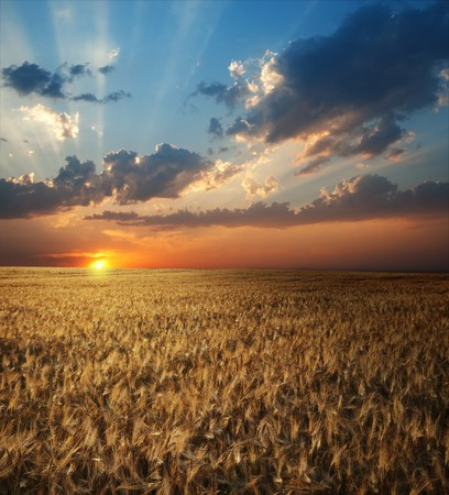 field of wheat in sunset time photo