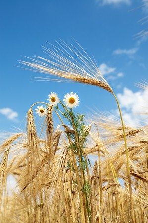 ears of wheat with chamomiles photo