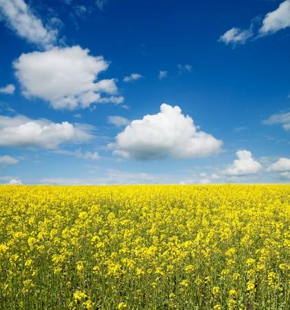 bloem van olie verkrachting in veld met blauwe lucht en de wolken