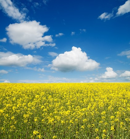 flower of oil rape in field with blue sky and clouds photo