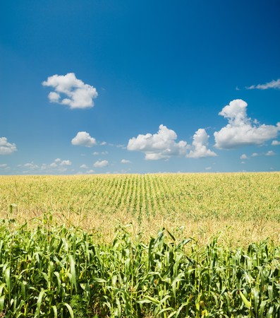 field with corn under blue sky and clouds Stock Photo - 7804637