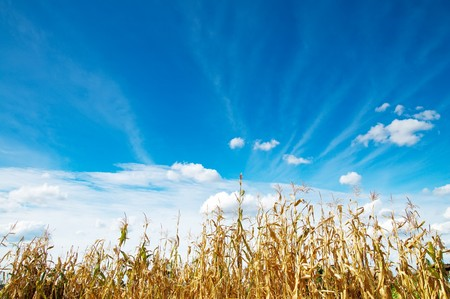 field with maize photo