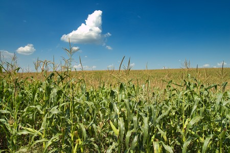 field with corn under blue sky and clouds photo