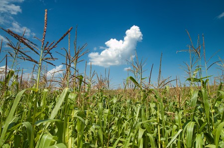 field with corn under blue sky and clouds Stock Photo - 7972480