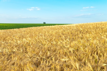 field of gold ears of wheat Stock Photo - 7972482