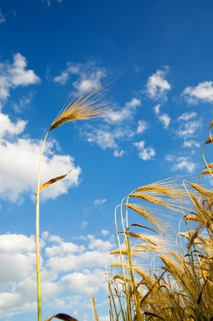 wheat of ear with blue sky Stock Photo - 8037504