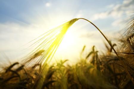 sunset on field at summer. ears of wheat sun against Stock Photo - 8037498